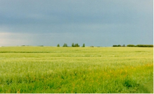 Photo:Wheat Field in Rolette N.D
